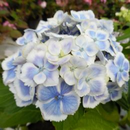 Hydrangea macrophylla Fanfare Wedding Ring (H)